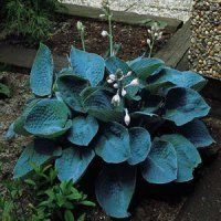 Hosta Flower gardens for everyone plant flowers perennials bulbs tubers roots rhizomes corms
