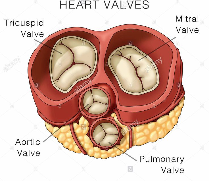 Valves of the heart ensure the one way flow. The AV valves are located between the atrium and ventricles and regulate the openings between them. The left AV valve is also called mitral valve and the right AV valve is also called the tricuspid valve. The aortic and pulmonary valve (semilunar valves) regulate blood flow from ventricles to the greater arteries.