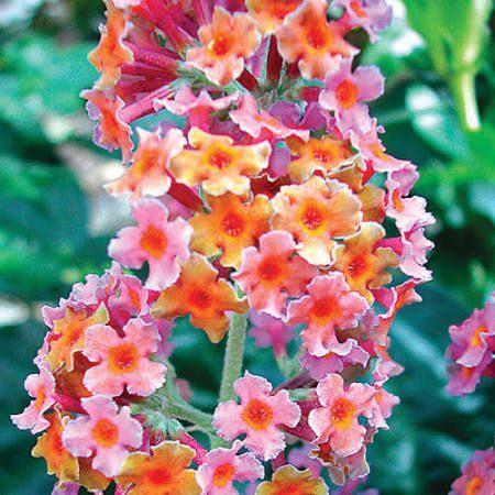 Butterfly Bush, Kaleidoscope