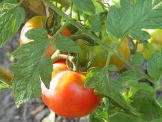 Шпаргалка на лето любителям томатов