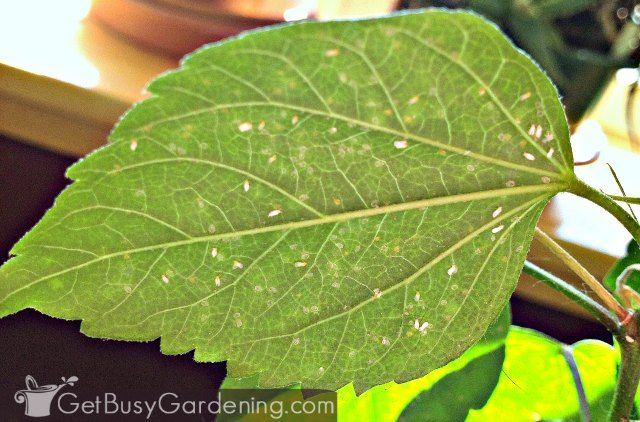 How To Get Rid Of Whiteflies On Indoor Plants For Good White Flies Hibiscus Plant Plants