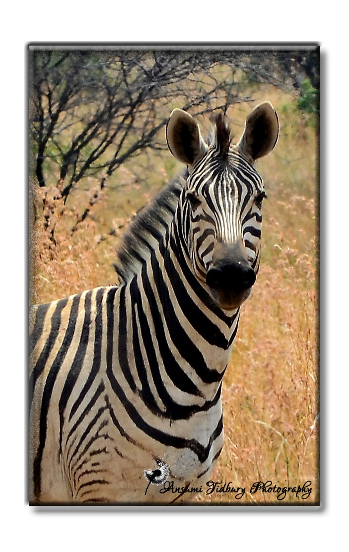 Zebra are stunning animals and not one print of the black and white stripes are the same! This photo I took about a 100m away from my house where I stay - Dinokeng!