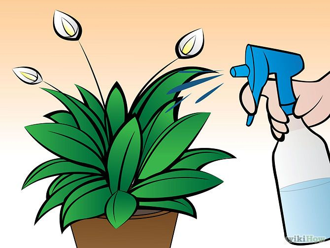 How to Care for Peace Lilies Mist the leaves several times a week with a spray bottle. Peace lilies thrive in the high humidity levels of the tropics, so, in addition to watering the soil, regularly mist your lily with a spray bottle to replicate the humid air of the rain forest. Mist your plant more frequently in the summer growing season - the more water you can supply the blooms, the healthier it will be.