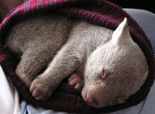 baby wombat @mrbijoy... my first response was... pet wombat??