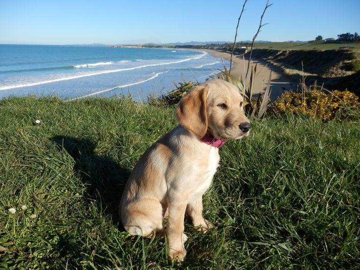 Labraspoodle Mischa Cute Puppy @ Kakanui Beach New Zealand
