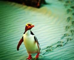 Hoiho, yellow-eyed penguin. NZ native bird