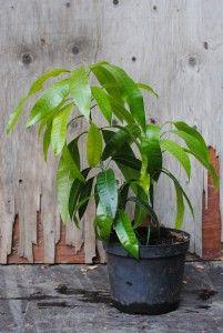 Mango - Mangifera indica  Trooppiset hyötykasvit huonekasveina - kasvit ovat kaupasta ostettujen hedelmien siemenestä kasvatettuja.