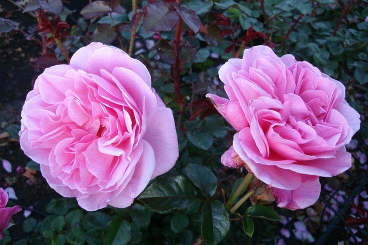 'Our last summer'™ Klätterros, 150-200 cm hög. Stora fyllda blommor med stark doft. Blommar från sommar till sen höst. Namngiven av den kända danska skådespelerskan Ghita Nørby.