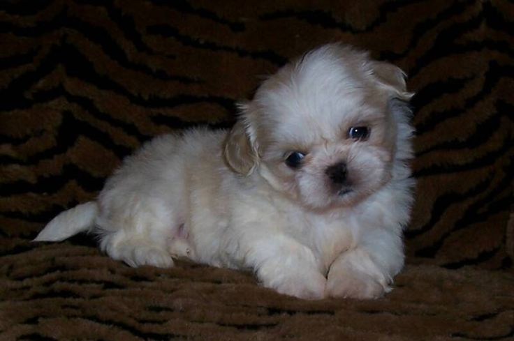 Champagne colored Imperial Shih Tzu puppy from AKC Shih Tzu Breeder Leea Knight of Shih Tzu's by Leea  www.abreedabove.net  In Beautiful Illinois