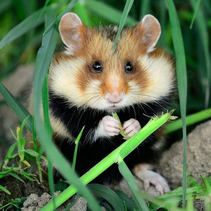 Can We Just Stop For A Moment And Appreciate The Fact That Wild Hamsters Exist?  [Bored Panda](https://www.boredpanda.com/wild-european-hamsters/)