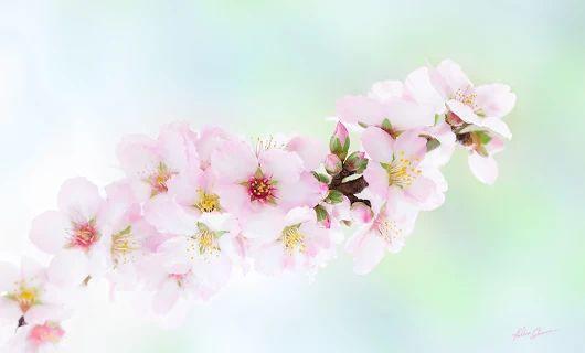 blooming almonds   photo by Kaśka Sikora       #blooming #almonds #bloomingalmond #trees #blomingtrees #spring #fowersblooming #kaśkasikora #kaśkaphoto #sikora #homedecor #homedesign #homestyling #artwork #artgallery #artofvisuals #poster #interiordesign #interiordecor #conceptart #lifestyle  #style #flowermagic #sikora #kaśkasikora #style #macro #beautifullife #kwiaty #studio #KatarzynaSikora