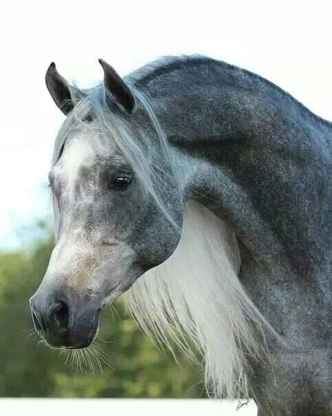 what a beautiful grey Arab!