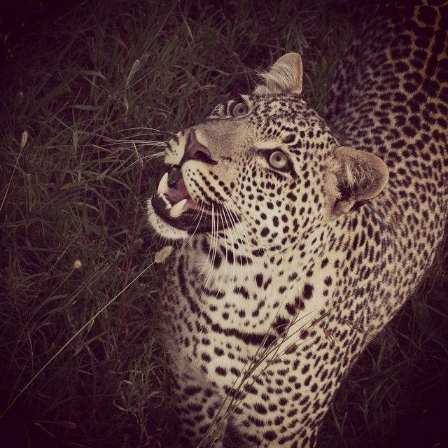 Watcha #Smiling about? This inquisitive cat was spotted in the #Serengeti and came so close to the car that we could get this shot.  Find out more about our Serengeti camp and safaris on -->www.wildfrontiers.com  #leopard #smile #beauty #africa #nature #spotted #rosettes #safari