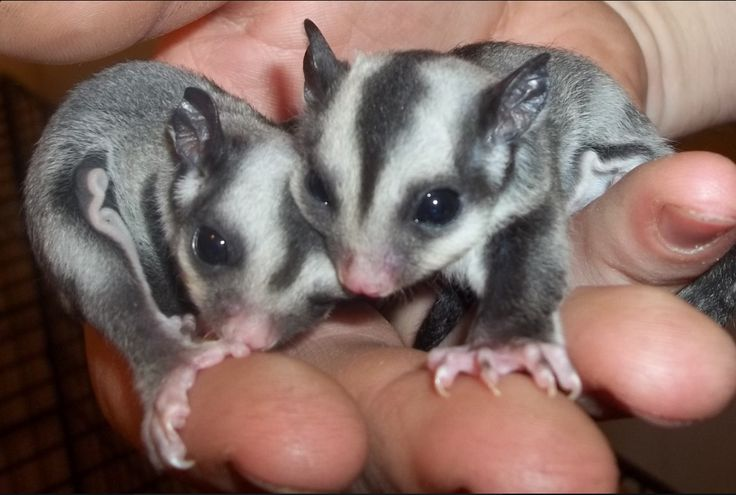 Baby Sugar Gliders..  Although very cute. I don't think people should own them as pets. JUST my opinion..
