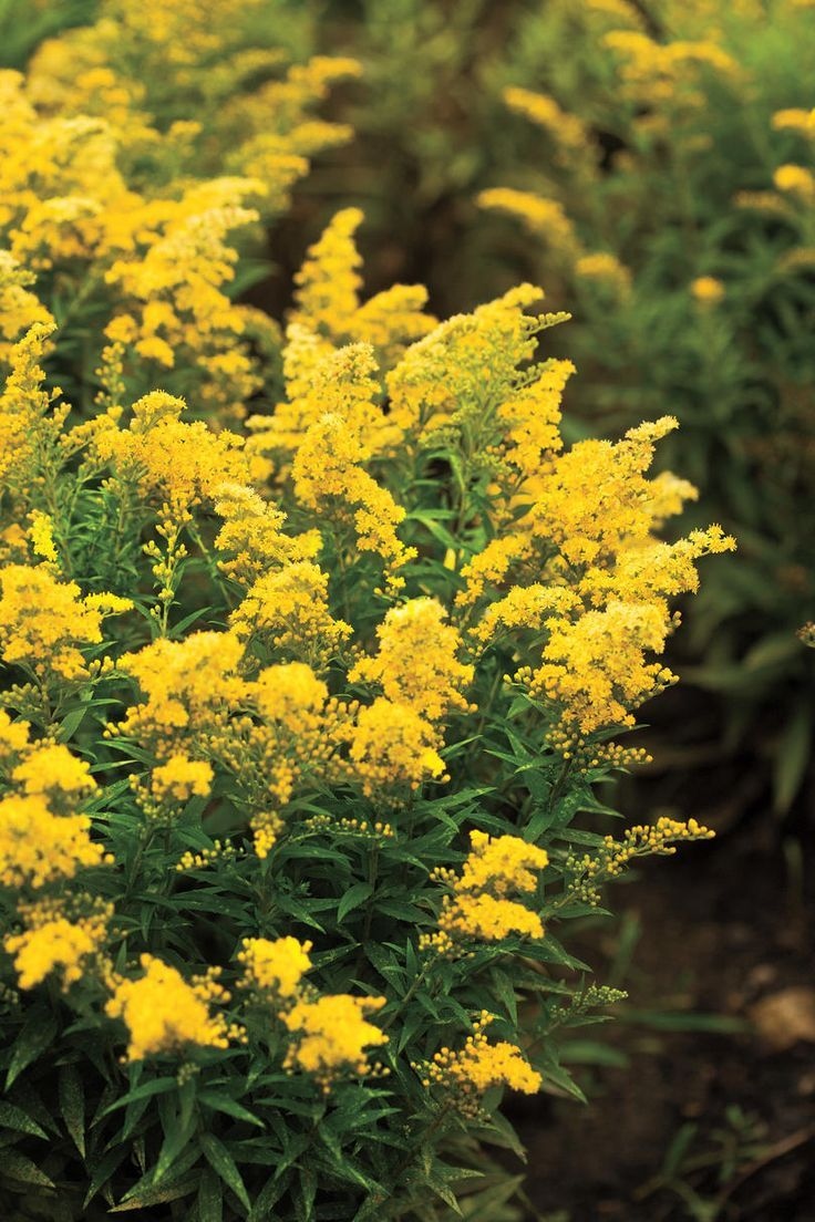 8 Favorite Plants For Fall Fall Flowers Amazing Flowers Goldenrod Flower