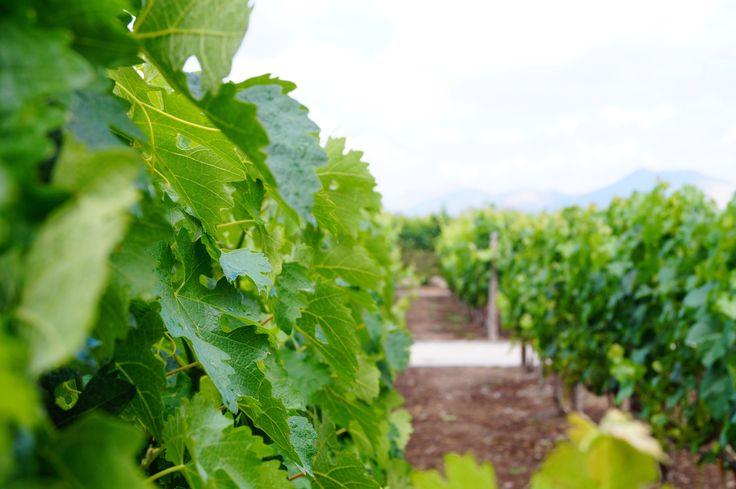 Vineyard in chile by Reinaldo Sanchez / 500px