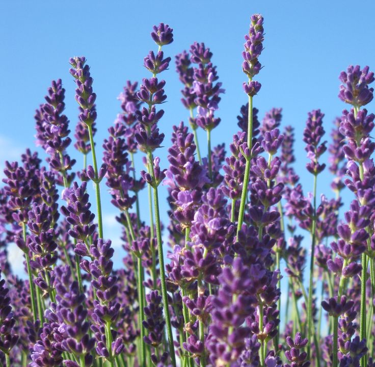 The Best French & English Lavender Varieties to Grow in Zone 5