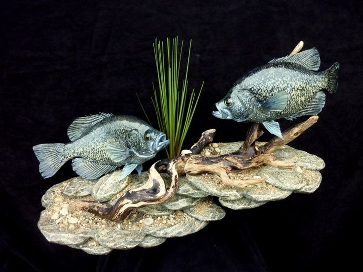 1 black crappie skin mount pair on double rock base for for Fish wall mount
