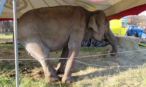 URGENT 3/11/16  Signez la pétition : Pour interdire l'exhibition de l'éléphante Maya à Clermont-Ferrand