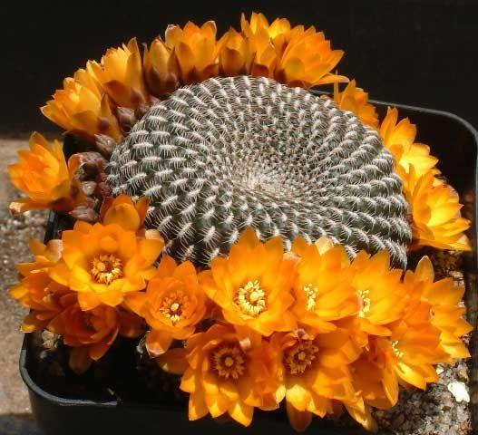 Imágenes de cactus floridos y cómo conseguirlo                                                                                                                                                                                 Más