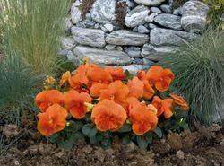 Viola x w. Inspire tmavě oranžová  F1 500s - 2