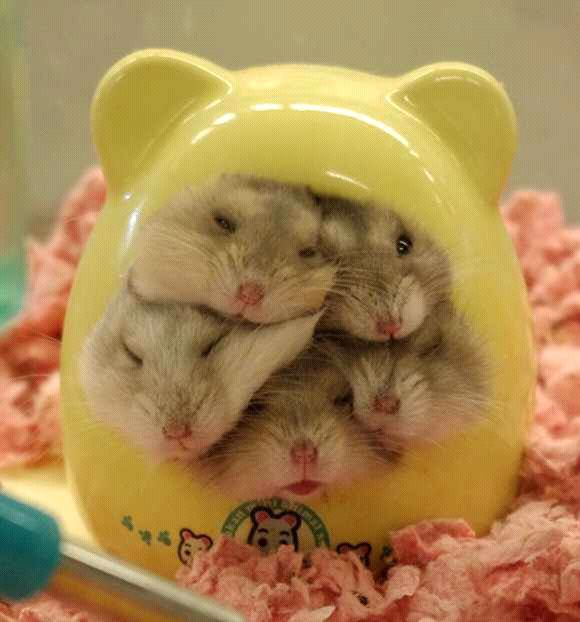 e6f3bb935f0a1fe9a0ecb98a2ffd0eff cute hamsters dwarf hamsters 254 best hammies images on pinterest cute funny animals, pets