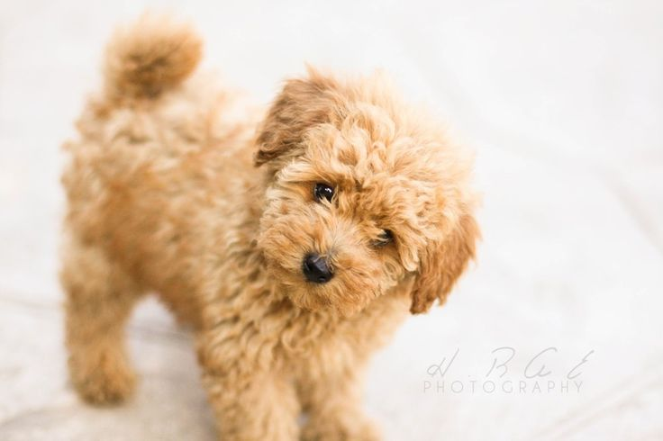 Kaye, I'm a tiny little toy poodle and I want to live with you. Will you love me?