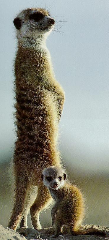 Meerkat! See them at Tswalu in South Africa.