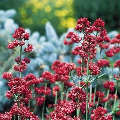 Centranthus Ruber Coccineus Is A Great Erfly Plant With Everblooming Cers Of Tiny Dark