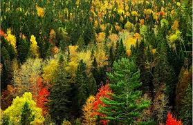 The Endangered Acadian Forest Of Eastern Canada Nature Scenes Wallpaper Free