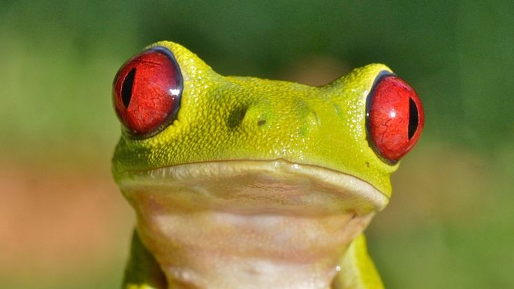 The huge diversity of frogs we see today is mainly a consequence of the asteroid strike that killed off the dinosaurs, a study suggests.