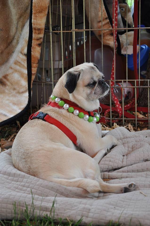 Pug Rescue Network's 10th annual pug picnic!