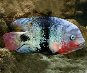 South American Cichlids as well Cichlid  20Oscars 20More 20VI likewise mon Fish Pets Promotion besides Albino Tiger Oscar 9 10cm furthermore Green Terror Aequidens Rivulatus. on oscar cichlid for trade