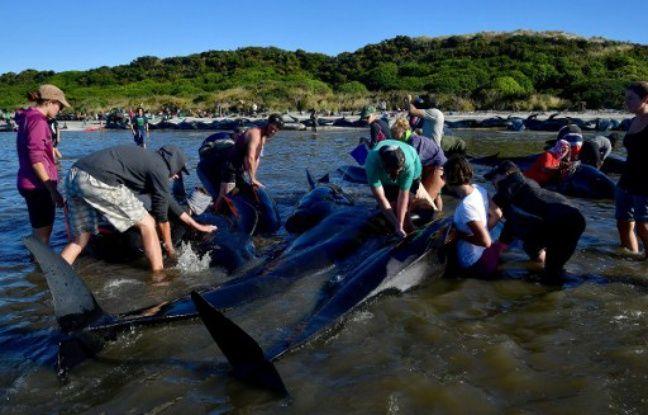 Nouvelle-Zélande: Malgré les efforts des volontaires, 200 baleines s'échouent à nouveau