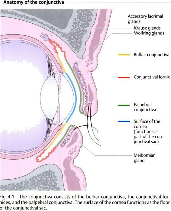 Anatomy of conjuctiva