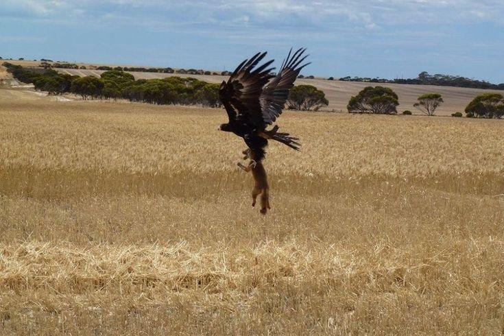 1. Скоро этот орел сможет неплохо подкрепиться...