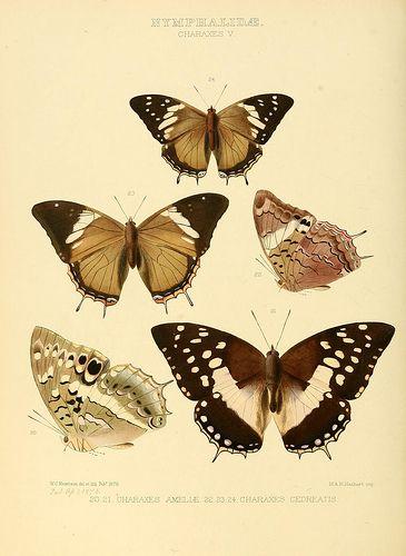 Illustrations of new species of exotic butterflies :. London :John Van Voorst,[1856]-1876.. biodiversitylibrary.org/page/29371930