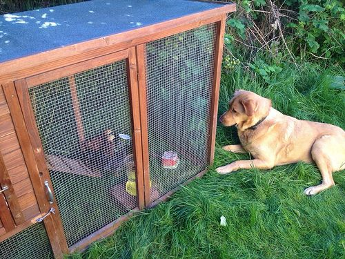 Chicken Coop Predator Protection - Google Search