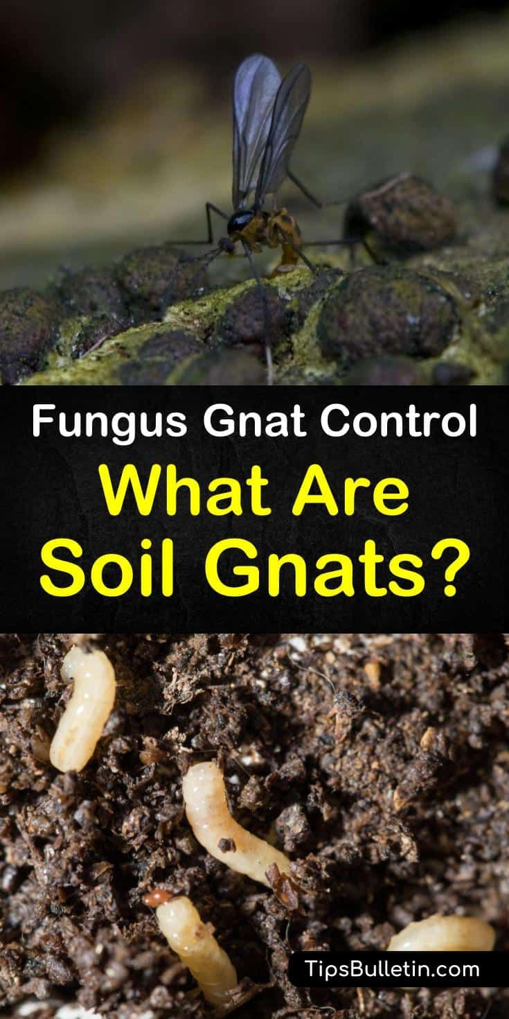 6 Clever Ways To Eliminate Gnats In The Soil Garden Pests Gnats Garden Pest Control