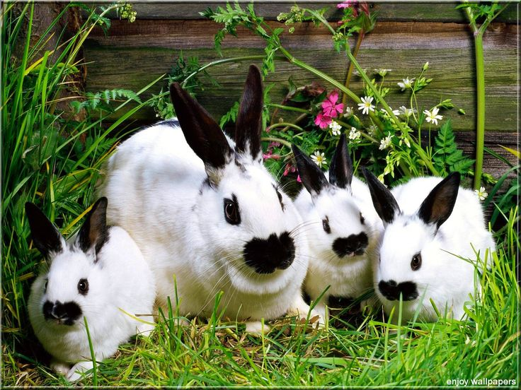 Photos de famille E6f75b29210fb9f0ccecaad91d25e181--white-bunnies-cute-bunny
