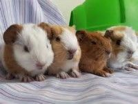 what to know about guinea pigs
