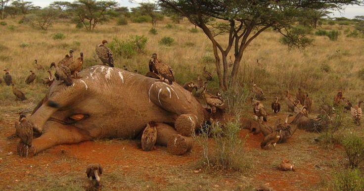 Depuis quelques années, le braconnage des éléphants, tués pour leurs défenses, s'est fortement intensifié. Selon une étude publiée dans la revue Proceedings of the National Academy of science of the USA, 90% de l'ivoire ill&eacut...