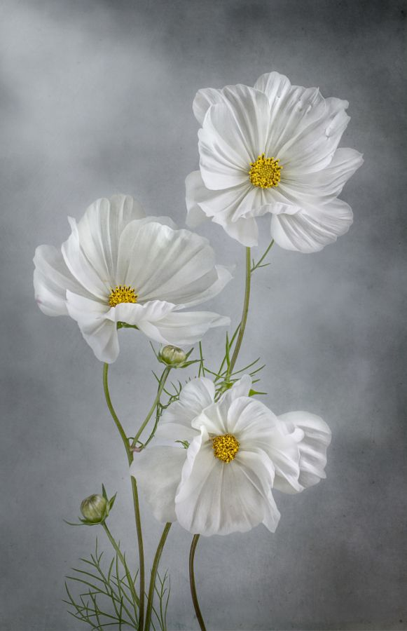 Cosmos by Mandy Disher on 500px.com   My favorite Flowers ...