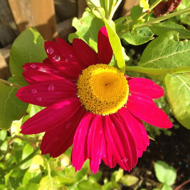 #flower #rosenkrage