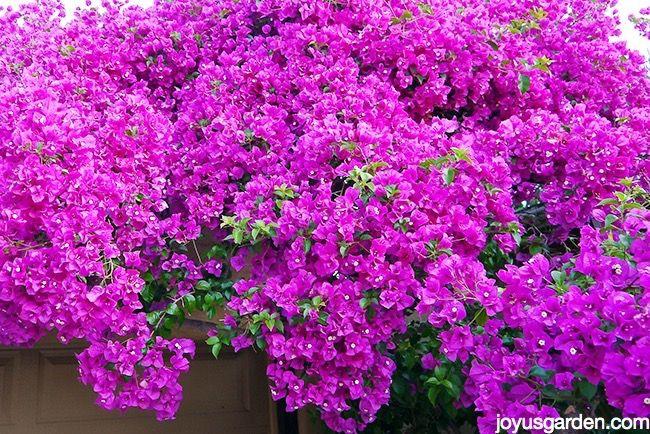 How I Prune and Trim My Bougainvillea For Maximum Bloom