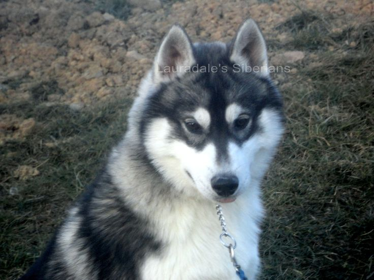 disappointed husky - photo #22