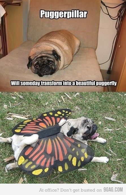 Haha Dogs, Laugh, Puggerpillar, Funny Stuff, Things, Puggerfly, Funny Animal, Pugs Life, Giggles
