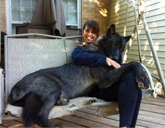 Big black wolf hybrid dog with her master