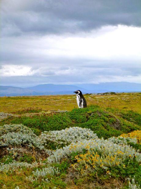 Pinguino cerca de Punta Arenas, Chile. Chile Fauna. Ecosistema.
