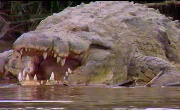 Gustave - le crocodile géant - Reptiles - Frawsy